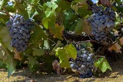 Μαύρα σταφύλια κρασιού στην άμπελο vinery στο νησί Tenedos Bozcaada από το Αιγαίο πέλαγος στοκ φωτογραφία