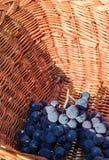 Μαύρα σταφύλια συμφωνίας που συγκομίζονται με το ψάθινο καλάθι Στοκ Φωτογραφία