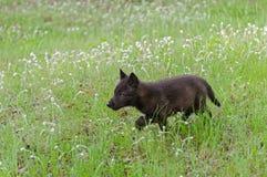 Μαύρα τρεξίματα κουταβιών λύκων (Λύκος Canis) μέσω της υγρής χλόης Στοκ Εικόνα