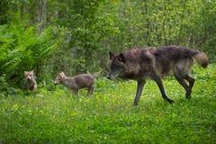 Μαύρα τρεξίματα Λύκου Canis λύκων φάσης γκρίζα με τα κουτάβια Στοκ Εικόνες