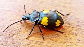 Μαύρα φτερά εντόμων με τα κίτρινα λωρίδες Στοκ Φωτογραφίες