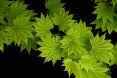 μαύρα φύλλα ανασκόπησης Στοκ εικόνα με δικαίωμα ελεύθερης χρήσης