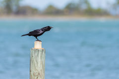 Μαύρα brachyrhynchos Corvus κοράκων σκαρφαλωμένα Στοκ φωτογραφία με δικαίωμα ελεύθερης χρήσης