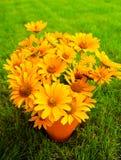 μαύρα eyed λουλούδια Susan ανθο&d Στοκ Φωτογραφίες