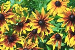 μαύρα eyed λουλούδια Susan Στοκ φωτογραφία με δικαίωμα ελεύθερης χρήσης