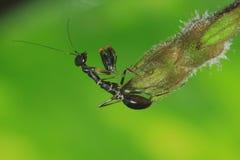 Μαύρα mantis μυρμηγκιών Στοκ φωτογραφίες με δικαίωμα ελεύθερης χρήσης