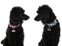 Μαύρα poodles στοκ φωτογραφίες