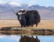 μαύρα yak στοκ εικόνα