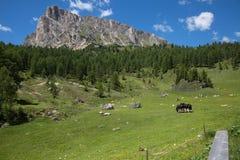 Μαύρες άλογο και αγελάδες που βόσκουν στη βοσκή των εδαφών: Ιταλικά πράσινα λιβάδια στο τοπίο Άλπεων Στοκ Φωτογραφίες