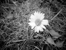 Μαύρες & άσπρες Chamomile και αλυσίδα Στοκ εικόνα με δικαίωμα ελεύθερης χρήσης