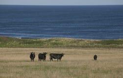 μαύρες αγελάδες Στοκ Φωτογραφία
