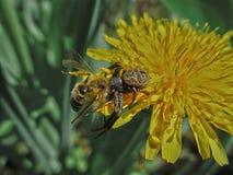 Μαύρες αράχνη και μέλισσα Στοκ Εικόνες