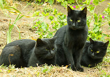 μαύρες γάτες Στοκ Φωτογραφίες