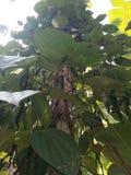 Μαύρες εγκαταστάσεις πιπεριών areca στο δέντρο Στοκ εικόνα με δικαίωμα ελεύθερης χρήσης