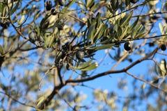 Μαύρες ελιές στο δέντρο Στοκ Εικόνες