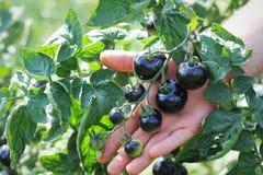 Μαύρες ντομάτες σε έναν κλάδο στον κήπο Το λουλάκι αυξήθηκε ντομάτα στοκ φωτογραφία
