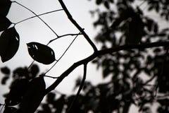 Μαύρες σκιαγραφίες φύλλων, σκιαγραφία κλάδων Στοκ φωτογραφία με δικαίωμα ελεύθερης χρήσης