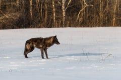 Μαύρες στάσεις Λύκου Canis λύκων φάσης γκρίζες στον τομέα που γλείφει τη μύτη Στοκ εικόνα με δικαίωμα ελεύθερης χρήσης