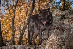 Μαύρες στάσεις Λύκου Canis λύκων φάσης γκρίζες στο βράχο που γλείφει τη μύτη Στοκ εικόνες με δικαίωμα ελεύθερης χρήσης