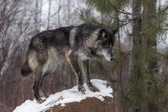 Μαύρες στάσεις Λύκου Canis λύκων φάσης γκρίζες στο βράχο Στοκ Εικόνες
