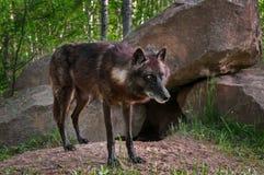 Μαύρες στάσεις λύκων (Λύκος Canis) μπροστά από την περιοχή κρησφύγετων Στοκ Εικόνες