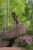 Μαύρες στάσεις λύκων (Λύκος Canis) πάνω από το κρησφύγετο - κουτάβι κατωτέρω Στοκ Φωτογραφίες