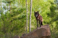 Μαύρες στάσεις λύκων (Λύκος Canis) πάνω από το κρησφύγετο οριζόντιο Στοκ Φωτογραφίες