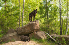 Μαύρες στάσεις λύκων (Λύκος Canis) πάνω από το κρησφύγετο Στοκ εικόνα με δικαίωμα ελεύθερης χρήσης