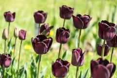 μαύρες τουλίπες Στοκ εικόνες με δικαίωμα ελεύθερης χρήσης