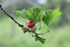 Μαύρες ώριμες και unripe μουριές κόκκινες και πράσινες στον κλάδο Στοκ Εικόνες