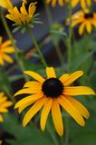 μαύρες eyed κορυφές της Susan Στοκ φωτογραφία με δικαίωμα ελεύθερης χρήσης
