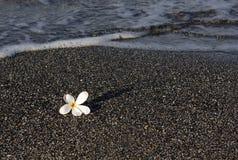 μαύρη άμμος plumeria ανθών Στοκ φωτογραφία με δικαίωμα ελεύθερης χρήσης