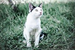 Μαύρη & άσπρη γάτα Στοκ Φωτογραφία