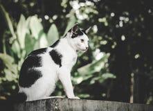 Μαύρη & άσπρη γάτα Στοκ Εικόνες