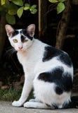 Μαύρη & άσπρη γάτα Στοκ Φωτογραφίες