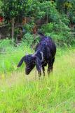 Μαύρη αίγα της Βεγγάλης στοκ εικόνα