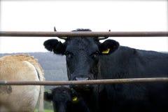 Μαύρη αγελάδα με τα κέρατα πίσω από μια πύλη στοκ εικόνες