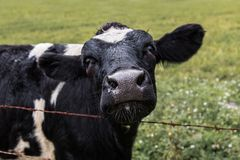Μαύρη αγελάδα στο αγρόκτημα πόλεων Στοκ Φωτογραφίες