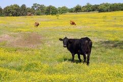 μαύρη αγελάδα Στοκ εικόνες με δικαίωμα ελεύθερης χρήσης