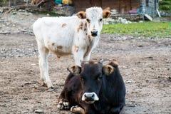 Μαύρη αγελάδα και άσπρος μόσχος που απομονώνονται στο υπόβαθρο λάσπης Στοκ φωτογραφία με δικαίωμα ελεύθερης χρήσης