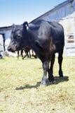 μαύρη αγελάδα Στοκ Εικόνες