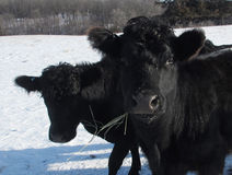 μαύρη αγελάδα Στοκ εικόνα με δικαίωμα ελεύθερης χρήσης