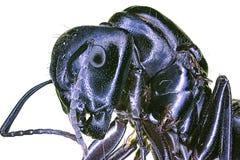 μαύρη ακραία γιγαντιαία μακροεντολή μυρμηγκιών Στοκ Φωτογραφία