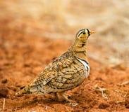 μαύρη αντιμέτωπη αρσενική sandgrouse στοκ εικόνες