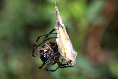 μαύρη αράχνη κήπων κίτρινη Στοκ Εικόνες
