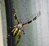 μαύρη αράχνη κήπων κίτρινη Στοκ Εικόνα