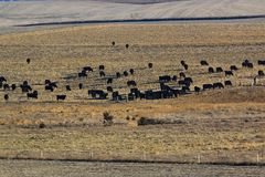 Μαύρη βοσκή του Angus Cattle Στοκ Φωτογραφίες