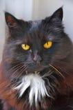 μαύρη γάτα αποκριές Στοκ Εικόνα