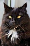μαύρη γάτα αποκριές Στοκ φωτογραφία με δικαίωμα ελεύθερης χρήσης