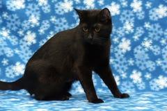 Μαύρη γάτα Βρετανοί Στοκ Εικόνες